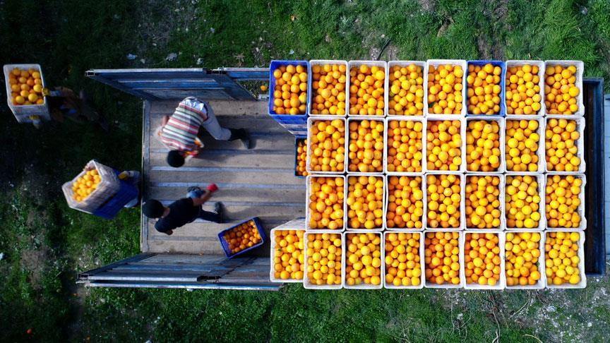 Finike'de portakal mesaisi