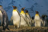 Kral penguenlerinin sayısında büyük düşüş