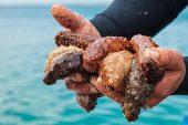 Avlanması yasak deniz patlıcanlarını kamyonla taşırken yakalandı.