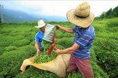 Çay ihracatından 6,3 milyon dolarlık gelir.