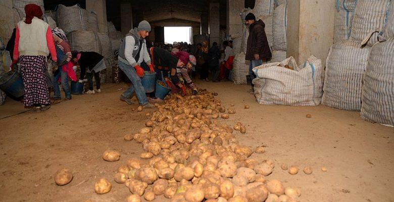 Sertifikalı Ahlat patatesi tohumları yurt dışı pazarında.