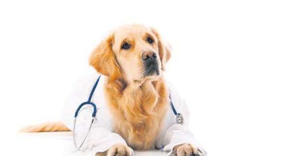 Köpekler içgüdüleri ile hastalıkları erken dönemde hissedebiliyor.